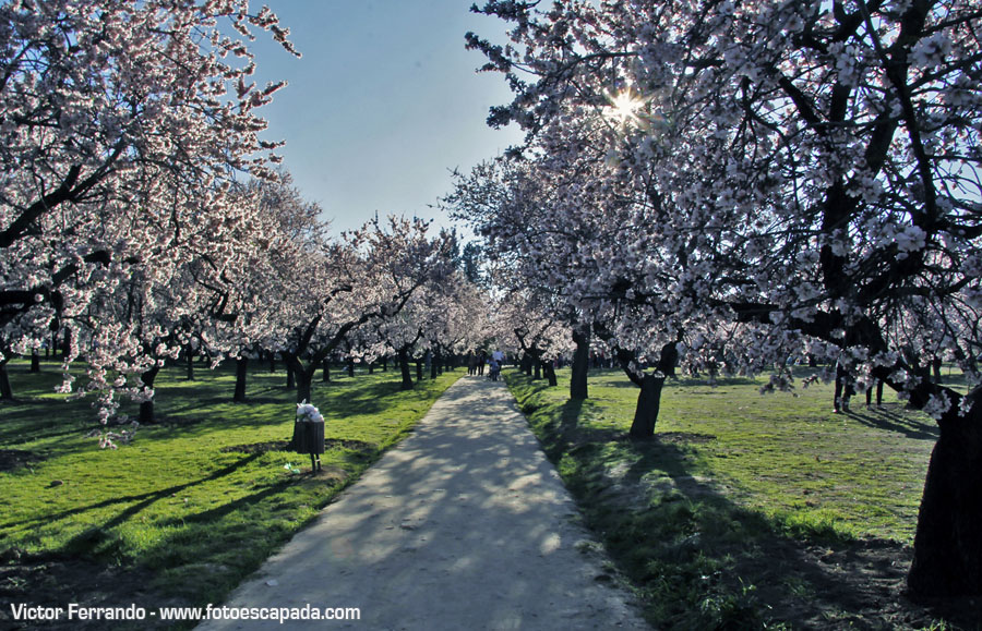 Almendros en flor en la Quinta de los Molinos Madrid