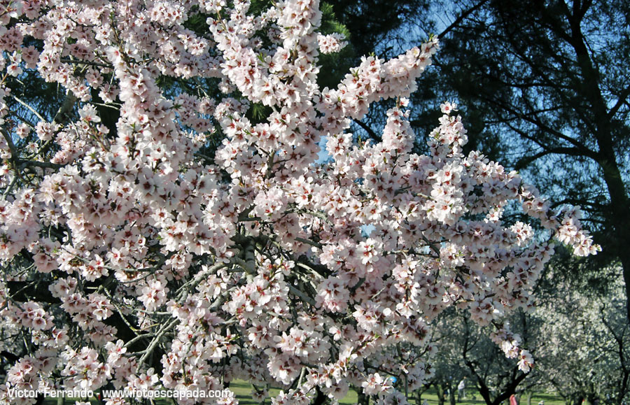 Almendros en flor en Madrid - Parque Quinta de los Molinos