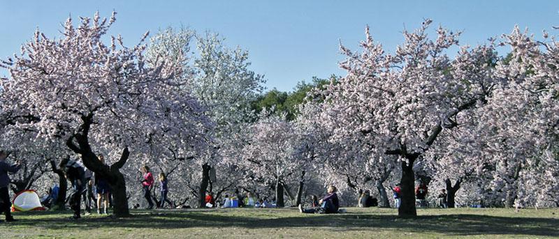 Almendros en flor en madrid parque quinta de los molinos for Piso quinta de los molinos