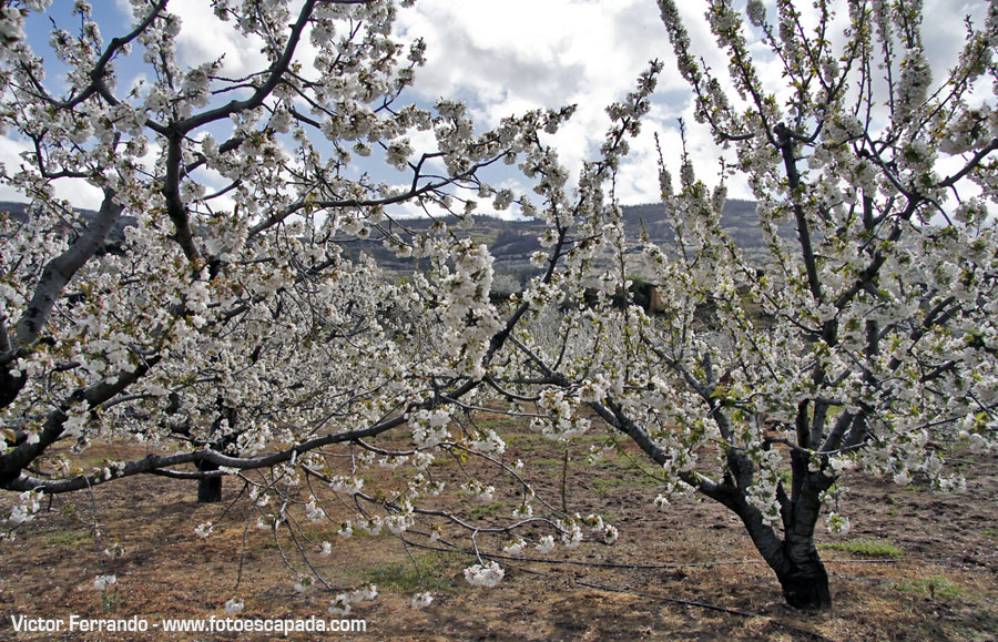 Cerezos en flor en el Valle del Jerte