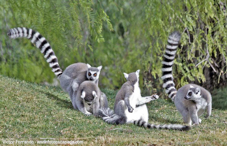 Madagascar en Bioparc Valencia
