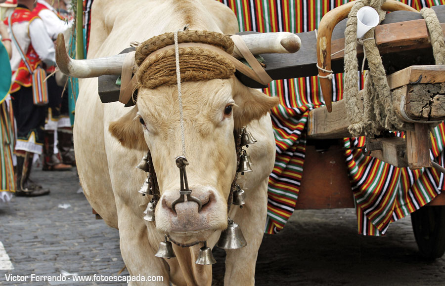 Vacas en la Romería de La Orotava Tenerife