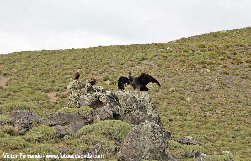 condor-parque-nacional-torres-del-paine