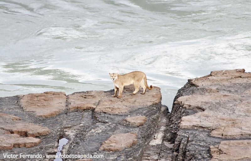 Un Puma en el Parque Nacional Torres del Paine