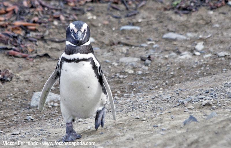 Pinguineras Isla Magdalena