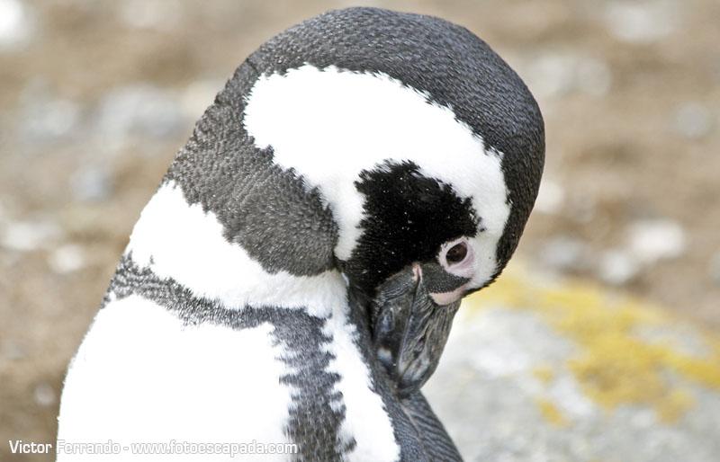 Pingüineras Isla Magdalena