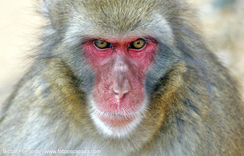 Macaco de cara roja en Iwatayama Monkey Park