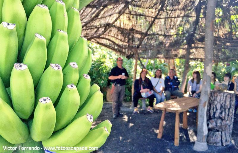 Plátanos del Platanologico