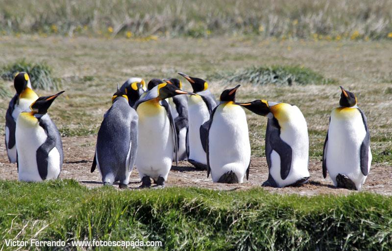 Pingüinos en el Parque Pingüino Rey en Tierra del Fuego
