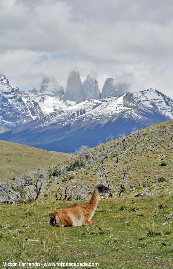 Guanaco en Parque Nacional Torres del Paine